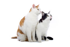Two cute cats on white. Close up of two cute cats sat together, isolated on white background stock photo