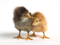 Two cute chicken Stock Photos