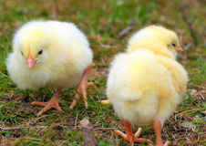 Two cute chickens Stock Photo