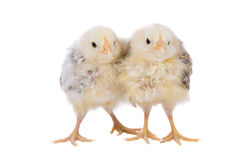 Two cute chicks Royalty Free Stock Photos