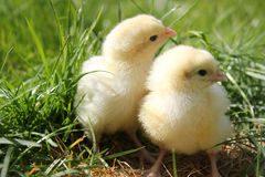 Free Two Cute Chicks Close Up Landscape Royalty Free Stock Images - 24144569