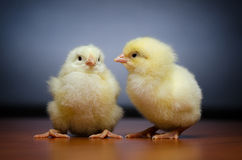 Two cute chicks Stock Photo