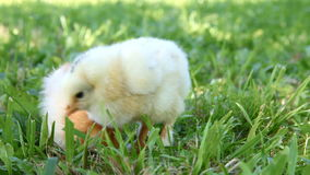 Two cute chicks. Two chicks searching for food in the grass stock video