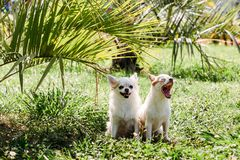 Two cute chihuahua dogs in the garden on grass under palm tree resting on a hot sunny summer day. One doggy yawns royalty free stock photos