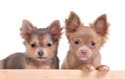 Two cute chihuahua puppies looking at camera Royalty Free Stock Image