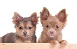 Two cute chihuahua puppies looking at camera Royalty Free Stock Image