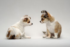Two cute chihuahua puppies sitting. On a neutral background royalty free stock photo