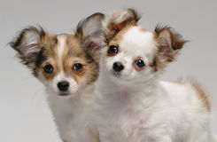 Two cute chihuahua puppies. In studio stock image