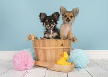 Two cute chihuahua puppies in a wooden sauna bucket in a bathroom setting with blue background royalty free stock images