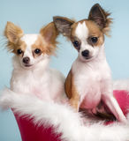 Two cute chihuahuas. Portrait of two cute little pet chihuahuas stock image
