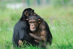 Two cute chimpanzees Stock Photos