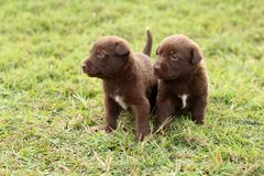 Two cute chocolate colored puppies. Two cute Labrador Retriever mix puppies explore together out in the grass royalty free stock photos