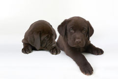 Two cute chocolate labrador retriever puppies. Studio shot of two chocolate labrador retriever puppies in front of white background royalty free stock image