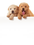 Two cute Chow-chow puppies,  isolated over white background Stock Photo