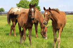 Two Cute Colts Royalty Free Stock Photography