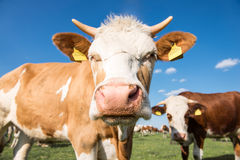 Two cute cows Royalty Free Stock Photography