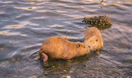 Two cute coypu kissing on water Stock Images