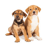 Two Cute Crossbreed Puppies Royalty Free Stock Photos