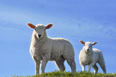 Two Cute Curious Lambs Looking in Spring. Two Cute Curious Lambs Looking at the Camera on a green grass field with a blue sky in Spring Royalty Free Stock Photography