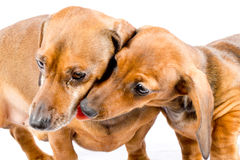 Two cute dachshund puppies close-up Stock Photos