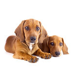 Two cute Dachshund Puppies sitting  / Isolated Royalty Free Stock Image