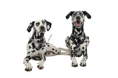 Two cute dalmatians lying in a white background photo studio. Two cute dalmatians lying in white background photo studio stock photo