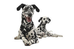 Two cute dalmatians lying in white background photo studio. Two cute dalmatians lying in a white background photo studio stock photography