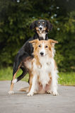 Two cute dog border collie hug Royalty Free Stock Photo