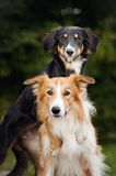Two cute dog border collie hug Stock Image