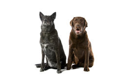 Two cute dogs Royalty Free Stock Image