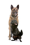 Two cute dogs. Closeup of two cute shepherd dogs isolated on white background royalty free stock images