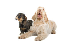 Two cute dogs Royalty Free Stock Photo