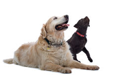Two cute dogs. Close up of Golden Retriever and Chocolate Labrador puppy sat together, isolated on white background Stock Images