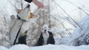 Two cute dogs asking for treats with owner. Two cute dogs asking for treats in winter stock video