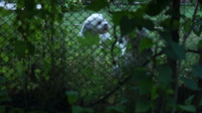 Two Cute Dogs Barking Behind The Fence, Pan stock video