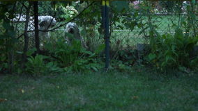 Two Cute Dogs Barking Behind The Fence. Two Cute Dogs Barking Thin stock footage