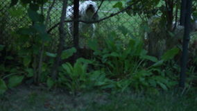Two Cute Dogs Barking Moving Ears Behind The Fence. Two Cute Dogs Barking Thin stock video