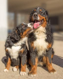 Two cute dogs Royalty Free Stock Photos