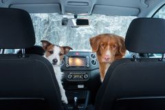 Two cute dogs in the car on the seat look. A trip with a pet. Nova Scotia Duck Tolling Retriever and a Jack Russell Terrier. Travel in winter royalty free stock photography