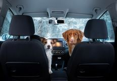 Two cute dogs in the car on the seat look. A trip with a pet. Nova Scotia Duck Tolling Retriever and a Jack Russell Terrier. Travel in winter stock image