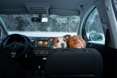 Two cute dogs in the car on the seat look. A trip with a pet. Nova Scotia Duck Tolling Retriever and a Jack Russell Terrier. Travel in winter stock photography
