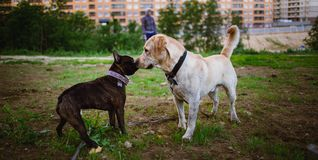 Two cute dogs, golden labrador and french bulldog, getting to know and greeting each other by sniffing royalty free stock image