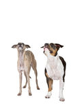 Two cute dogs listen Royalty Free Stock Images
