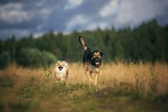 Two cute dogs, little pomeranian spitz, and large mongrel dog walking on a field in summer day. Two cute dogs, little pomeranian spitz, and large mongrel dog stock image