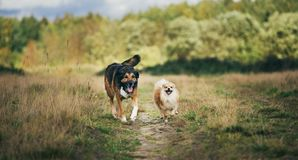 Two cute dogs, little pomeranian spitz, and large mongrel dog walking on a field in summer day. Green grass, trees and clouds background royalty free stock images