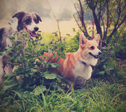 Two cute dogs in the park. We're friends forever. Welsh Corgi an Stock Photos