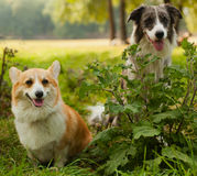 Two cute dogs in the park. We're friends forever. Welsh Corgi an Royalty Free Stock Photo