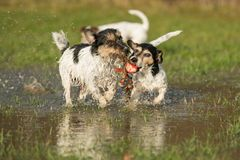 Two cute Jack Russell Terrier dogs playing and fighting with a ball in a water puddle in the snowless winter stock photos