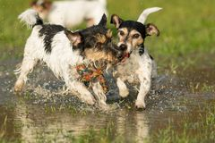 Two cute Jack Russell Terrier dogs playing and fighting with a ball in a water puddle in the snowless winter stock images
