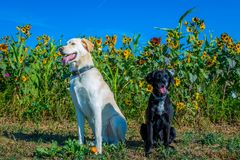 Two cute dogs pose on a sunny day. In front of sunflowers stock photo